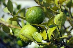 Lemons on a Lemon Tree Stock Image