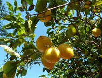 Lemons on the lemon tree royalty free stock photography