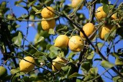 Lemons. On a tree in Mallorca, bio superior quality Royalty Free Stock Photos