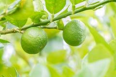 Lemons (limes), green lemons on tree. Royalty Free Stock Images