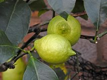 Lemons and limes home grown organic fruit Royalty Free Stock Images