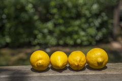 Lemons line over a wood  terracce in a sunny day Royalty Free Stock Images