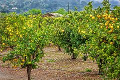Lemons and orange trees in the mountains of Mallorca, Spain. Lemons and orange trees in the mountains of Mallorca, Balearic Islands, Spain Stock Image