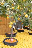 Lemon trees Royalty Free Stock Images