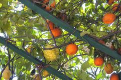 Lemons and oranges. On the lake of Como Royalty Free Stock Image