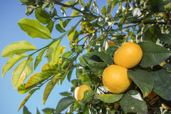 Lemons. Ripe lemons in tree against blue sky Stock Photos