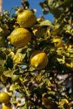 Lemons ripen on a lemon tree Royalty Free Stock Photo
