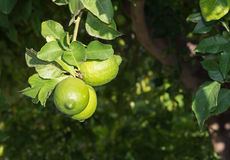 Lemons ripening Royalty Free Stock Images
