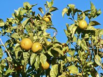 Lemons riping on a lemon tree royalty free stock photography