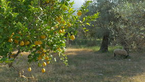 Lemons on rural orchard. Lemons Trees  in a countryside orchard stock video