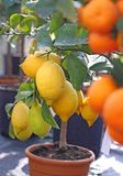 Lemons from Sicily and Ripe orange tangerines Stock Image