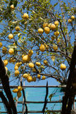 Lemons in Sorrento Stock Photo