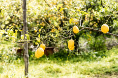 Lemons in Sorrento Royalty Free Stock Photos