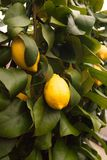 Two lemons on the tree. 2 lemons still attached to the tree Royalty Free Stock Photos