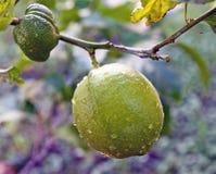 Lemons Still Forming Royalty Free Stock Photo