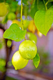 Lemons Still Forming Stock Images