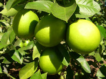 Lemons in the Sunshine. Lemons ripening on a sunny day Royalty Free Stock Images