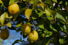 Lemons in a Tree Stock Photos