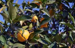 Lemons on tree. Ripe lemons and leaves among tree branches Royalty Free Stock Image