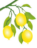 Lemons on the tree Royalty Free Stock Images