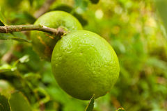 Lemons on tree. In thailand Stock Images