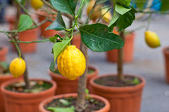 Lemons on tree Royalty Free Stock Photography