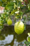 Lemons on tree Royalty Free Stock Images