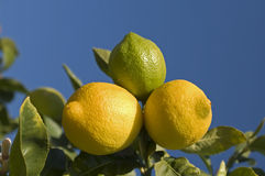 Lemons on Tree. Against blue sky, two ripe yellow, one green Royalty Free Stock Photography