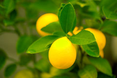 Lemons on a Tree stock photos