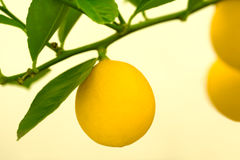 Lemons on a Tree Royalty Free Stock Photography