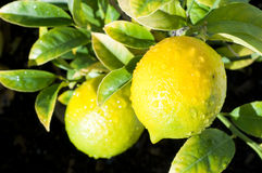 Lemons on tree branch Stock Photos