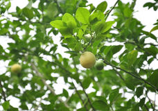 Lemons on tree Stock Image