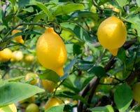 Lemons on tree Royalty Free Stock Photos