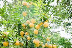 Lemons on a tree. A cloudy morning shot of lemons on a tree royalty free stock photos