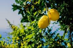 Lemons on a tree. Mediterranean sea and sky in background. Amalfi coast symbol, Italy stock image