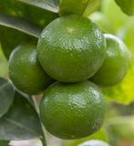 Lemons on the tree , Thailand. royalty free stock photography