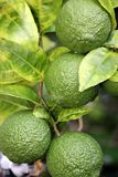 Lemons on Tree, Unripened Stock Photography