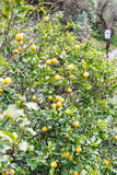Lemons on tree in urban park of Savoca, Sicily Stock Photos