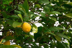 Lemons on the tree Royalty Free Stock Photo