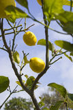 Lemons tree Royalty Free Stock Image