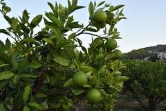 Lemons Stock Photo