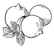 Lemons. Vector hand drawn monochrome lemons Stock Photos