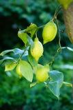 Lemontree Stock Photo