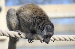 Lemur Брайна на веревочке Стоковая Фотография RF