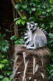 Lemur замкнутый кольцом Стоковое Изображение RF