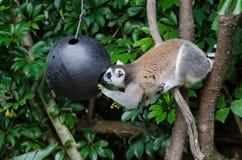 Lemur замкнутый кольцом Стоковое фото RF