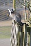 Lemur кабеля кольца сидя на загородке Стоковое Изображение RF