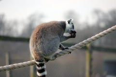 Lemur кабеля кольца сидя на некоторой веревочке Стоковая Фотография RF