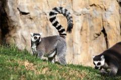 Lemur Мадагаскара Стоковое Изображение RF