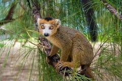 lemur Мадагаскар coronatus Стоковые Фотографии RF